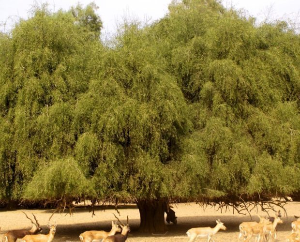 Strom salvadory perské - přárodní kartáček na zuby YONI